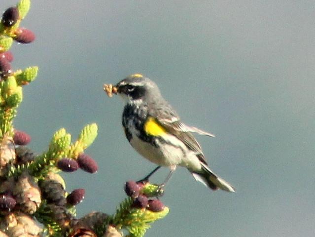 Yellow-rumped Warbler 20110619