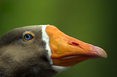 Goose Face (BeautyInDetails) Tags: bird geese nikon nikond70 naturallight waterbird goose waterfowl blueeye orangebeak whitefeathers largebird greyfeathers pilgrimgeese closeupbird