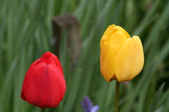 TWO, dewy tulips. (the water watcher 05.) Tags: flowers blue red summer flower green nature yellow garden scotland petals dof tulips bokeh petal tulip summertime blooms canoneos350d borders stake hawick petel summerflowers scottishborders redtulip roxburghshire gardenflower redcolor redcolour gardenstake yellowtuilip