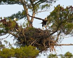 Bald Headed Eagle Family (Kelly Walkotten) Tags: eaglesnest eagles babyeagles