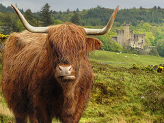 Scotland is ours! (Bn) Tags: scotland topf50 cattle isleofskye topf300 topf100 highlandcattle topf200 reddish highlandcow kyloe dunvegancastle schotsehooglanders 100faves scottishhiglands 50faves 200faves 300faves scottishbreed rainrainandrain scotlandisours