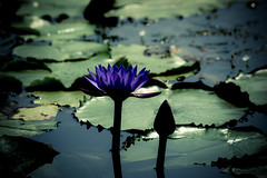 Water lily (ddsnet) Tags: plant flower water waterlily lily sony aquatic  aquaticplants 900       lily water  tetragona water lightroompresets   900 lily nymphaeatetragona    nymphaea plants nymphaeatetragon aquatic nymphaea tetragona plantsnymphaea tetragona