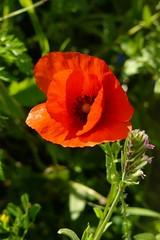 (kiarotta) Tags: red flower nature poppy fiore rosso naturelovers papavero naturalmente