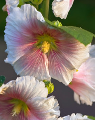 Hollyhock In Pink And White Hues No.4 (aeschylus18917) Tags: japan tokyo danielruyle aeschylus18917 danruyle druyle ダニエルルール ダニエル ルール 東京 105mmf28gvrmicro nikon d700 flower season nature spring mallow hibiscus rosemallow malvales malvaceae malvoideae hibisceae pink white 花 flowers 季節 seasons タチアオイ 105mmf28 nikkor105mmf28gvrmicro hollyhock rosids alcea 日本 105mm pxt