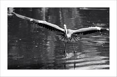 Jupp with telescope eyes (Toni_V) Tags: bw bird heron monochrome zoo blackwhite zurich zürich 70300mm 2009 jupp d300 colorkey reiher selectivecolors capturenx toniv