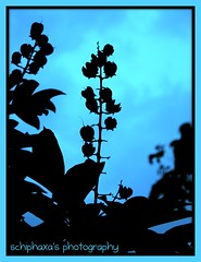 flowers against the blue sky ( S H I F F ) Tags: street flowers trees light vacation sky cloud holiday black flower macro tree nature leaves closeup clouds evening flora flickr memories skylight experiment bluesky experience memory malaysia dslr 2009 shif canon450d schiphaxa shifaza schiphaxasphotography