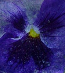 Something Blue ... (virtually_supine popping in and out) Tags: flowers blue colour macro yellow outdoors droplets pansy manipulation textures brightlight layers backlit impressionistic blending photoshopelements7