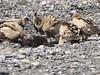 Himalayan Griffon Vultures feeding…