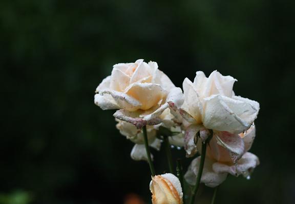 rain roses