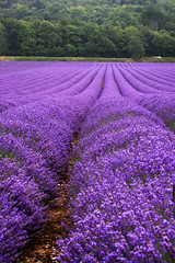 rows upon rows of lavender
