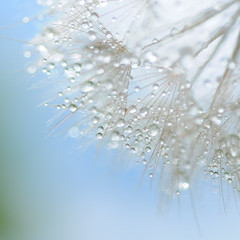 . . . (anniedaisybaby) Tags: blue sky white macro water diamonds silver nikon poetry poem bokeh fresh seedhead dew handheld 60mm waterdrops pure soon moisture dreamcatcher d300 pabloneruda bsquare textureless bluemorning mywinners texturefree magicunicornverybest magicunicornmasterpiece