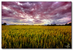 Fields (rjt208) Tags: red england sky west grass clouds countryside canal cloudy wheat grain scenic dramatic overcast fields maize walsall wheatgrass midlands rushall anawesomeshot
