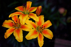 ايــه أحــبك وقــلتها مــليون مــره (eL reEem eL sro0o7e ♥) Tags: summer flower london yellow backyard united kingdom 2009 oxfordcity elreeem elsrooo7e