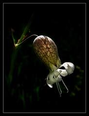 Silene vulgaris (Adonis_Vernalis) Tags: flowers light shadow wild plants white plant flower macro green nature digital photography spring flora serbia fresh vojvodina herbaceous silenevulgaris vrsac canonpowershotsx100is vrsacmountains