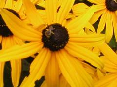 RUDBECKIA IN THE GARDEN WITH FRIEND (Louise001) Tags: flowers nature yellow garden rudbeckia blackeyedsusans