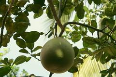 Pomelo (Rainedom) Tags: sunset sky people colors fruits animals canon children fun boat coconut rich culture vietnam swamp rides hcmc mekongriver vungtao 400d rainedom rainescape