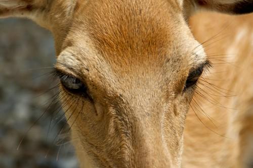deer lashes