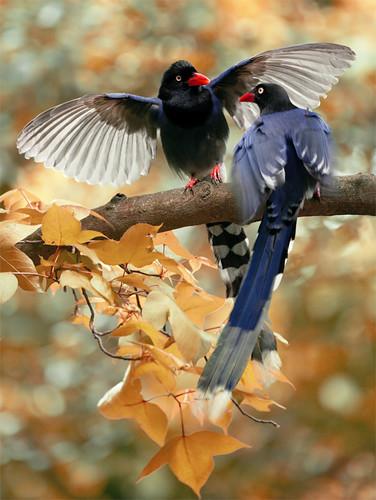 # 485 藍鵲獻媚