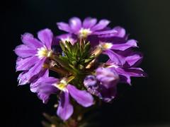 Flower close-up (Jan Gee) Tags: flower castle home gardens estate venlo manor grounds arcen kasteeltuinen stately