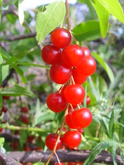 Bird cherry () Tags: red summer bird cherry village russia country bunch samara