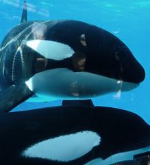 Nakai and Kasatka (Paruula) Tags: sandiego orca seaworld shamu killerwhale nakai orcinusorca cetacean kasatka