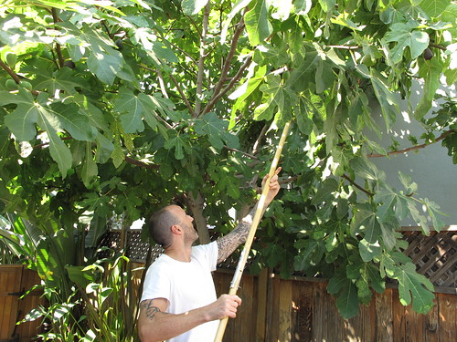 Picking Figs