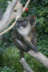 Murrie the Monkey (Sarah B in SD) Tags: plants nature animals monkey sandiego photowalk disabled sandiegozoo onearm amputee sooc