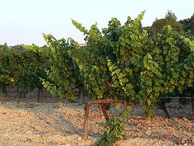 vignes au coucher du Soleil, Provence.jpg