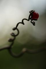 (Caitlyn Park) Tags: autumn macro fall nature fruit holding berry bokeh vine twist curl balancing 577 latesummer drupe yesiputitthere