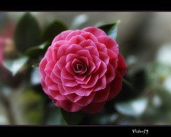 Camelia .. (sirVictor59) Tags: africa pink flowers flower macro love nature topf25 beautiful photography topf50 nikon bravo flickr saveme photographer photos nikond70 pics earth no quality australia save passion excellent faves camelia awards pixels estrella winners limits damncool smrgsbord 105mm blueribbonwinner encarnado supershot amazingtalent amazingshot laflormasbella fantasticflower goldenmix abigfave platinumphoto anawesomeshot aplusphoto almostanything citrit ysplix incrediblenature superlativas blueribbonwinnerb theunforgettablepictures macromarvels goldstaraward dragongoldaward great123 excellentsflowers 4mazingorgeoushots oflowers natureselegantshots thepoweroftheflower mimamorflowers loveartflowers sirvictor59