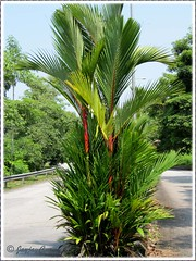 Cyrtostachys renda/lakka (Lipstick Palm, Red Sealing Wax Palm, Rajah Palm) at the road divider