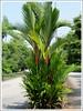 Cyrtostachys renda (Red Sealing Wax Palm, Lipstick Palm, Rajah Palm)