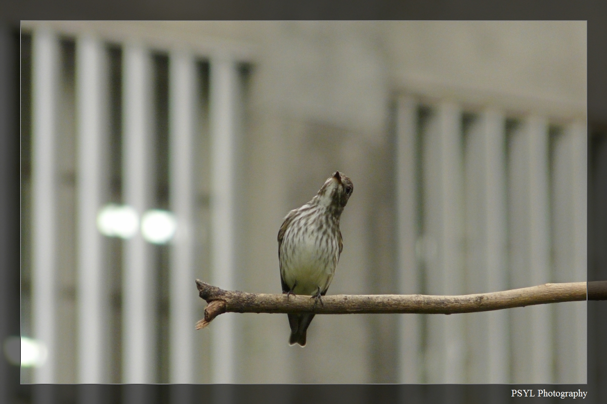 Grey-streaked Flycatcher (Muscicapa griseisticta) - 灰斑鶲