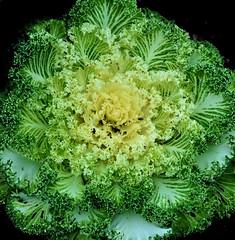 Ornamental Cabbage (Birdman of El Paso) Tags: texas tx joe el lila paso cabbage ornamental kale birdman soop grossinger