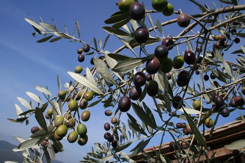 Olives 2009 002
