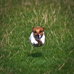 [フリー画像] [動物写真] [哺乳類] [イヌ科] [犬/イヌ] [ジャック・ラッセル・テリア]      [フリー素材]