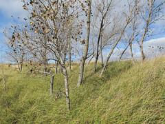 Mid-October grasses & trees of a North American Great Lakes dune. (Tim Kiser) Tags: 2014 20141018 greatlakeslandscape img0180 lakemichiganlandscape laketontownship laketontownshipmichigan laketontownshipmuskegoncountymichigan michigan michiganlandscape muskegoncounty muskegoncountymichigan muskegoncountylandscape muskegonstatepark muskegonstateparklandscape october october2014 autumnlandscape autumnleaves beachgrass beachgrasses defoliation dune dunegrass dunegrasses dunelandscape falllandscape fallleaves grass grasses grassylandscape landscape park partlycloudy sanddune sanddunelandscape statepark view westmichigan westernmichigan muskegon unitedstates