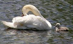 P5160338 (Sharani RI) Tags: swans cygnets