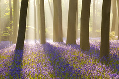Micheldever mist (antonyspencer) Tags: wood uk trees sunlight mist bluebells forest woodland landscape forestry hampshire spencer bec antony commission beech wondersofnature micheldever superaplus aplusphoto infinestyle 5dii