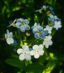 Forget-me-not...hehe....or forgive me not..? (Per Ola Wiberg ~ Powi) Tags: flowers nature sweden may blommor 2009 maj musictomyeyes peopleschoice bloomingflowers eker bej ekebyhovsparken frgtmigej royalgroup diamondheart peaceaward flickrhearts heartawards diamondstars photostosmileabout flowerwatcher flickrsun exemplaryshotsflickrsbest naturewatcher concordians wonderfulworldmix betterthangood flowersandgarden floraandfaunaoftheworld theperfectphotographer worldofflowers ilovemypics flowerbudsandblossoms thepoweroftheflower thegoldenflower wonderfulworldofflowers beautifulshot damniwishidtakenthat flickrlovers thenewacademy auniverseofflowers photographersgonewild awesomeblossoms simplythebest~flowers tuttiflores grouptripod vosplusbellesphotos flickrflorescloseupmacros grrreatworks photographerparadise naturescreations flowers throughyoureyestoours2 fotografiayotros flowersspontaneous addictedtonature holycreationsofnature sparklingbeauty exquistecapture addictedtoflower championsphotography flickrsgottalent peaceandheart elisfavoriteflowers lovelyflowersgroup