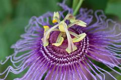 Passion Vine (Kimberly Kling (Joyful Roots)) Tags: arizona nature tucson desertmuseum wildlife vine passion passiflora