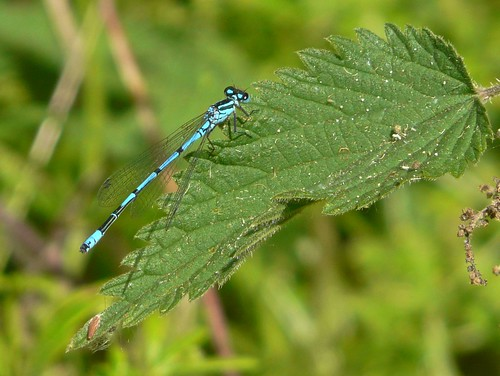 Damselfly in Russia Dock Woodland