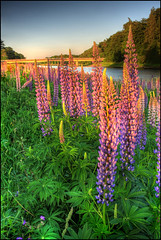 Lupins (angus clyne) Tags: bridge flowers trees sunset flower river scotland rivertay perthshire tay lupin banks lupins murthly beechtree flikcr caputh colorphotoaward caputhbridge