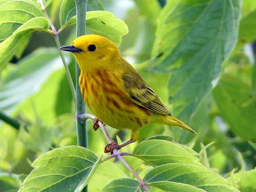 Yellow Warbler 2-20090609