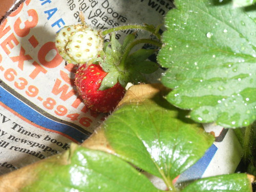 Add newspaper underneath strawberries