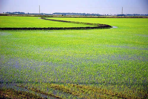 ricefields by you.