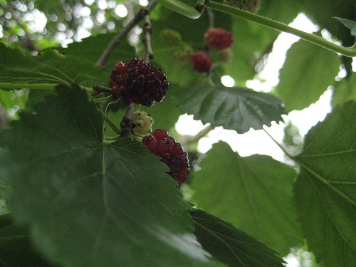 Mulberry close-up