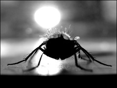 (citytripod) Tags: light blackandwhite white chicago black window canon hair wings legs flay insecto g9 theturntable monochromeaward