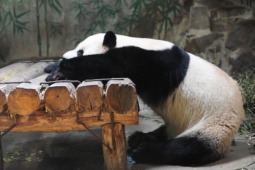 [フリー画像] 動物, 哺乳類, クマ科, ジャイアントパンダ, 201005131100