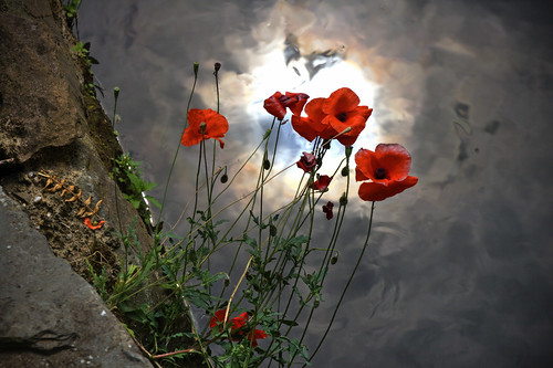 Last poppies on the riverside